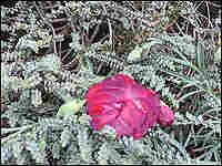 H. pimeleoides