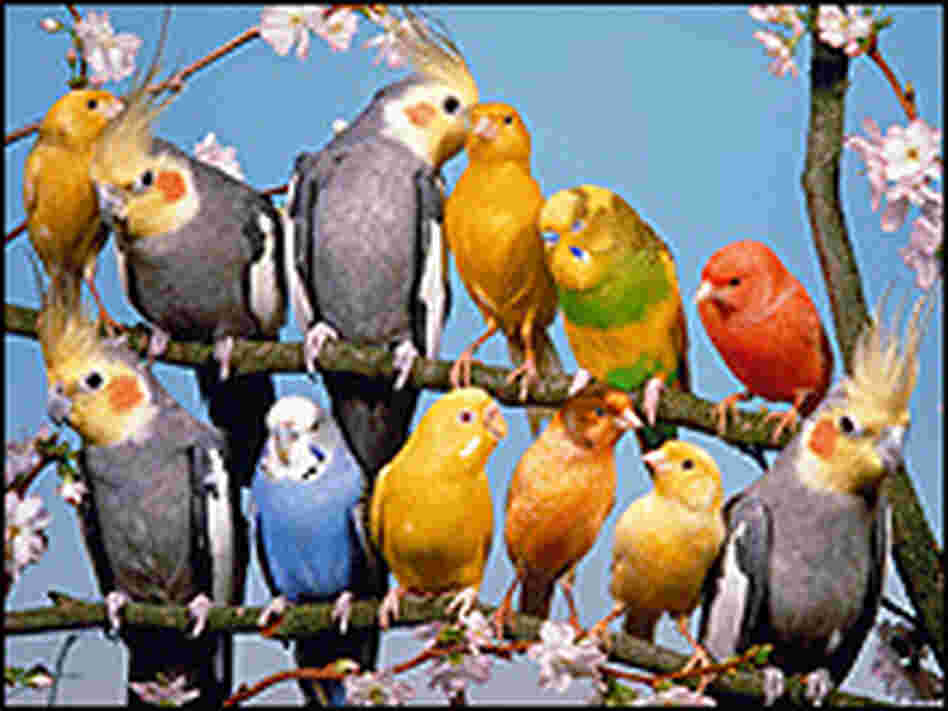 Canaries, budgies and cockatiels perched together.