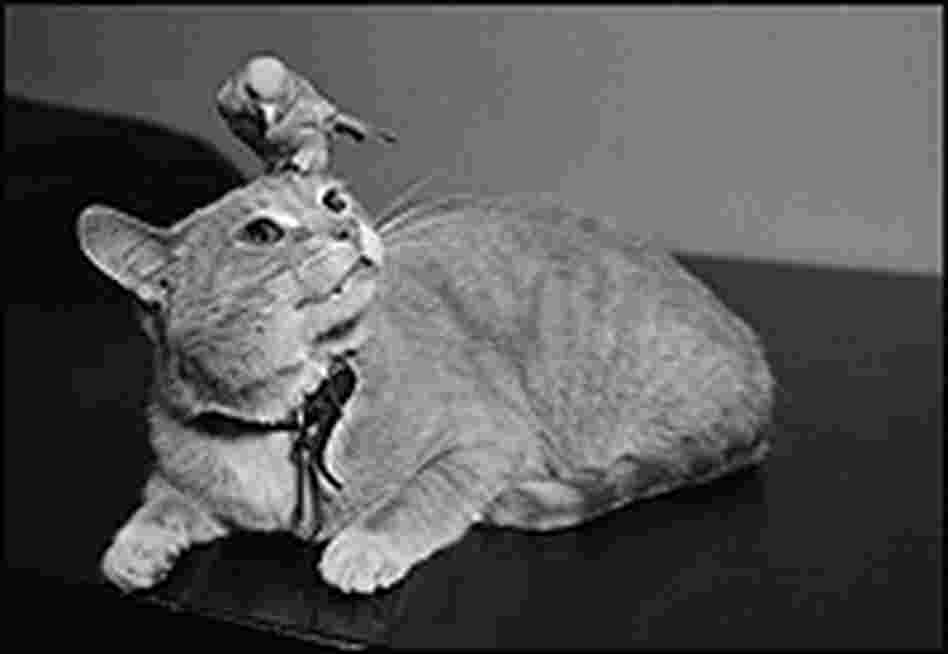A canary perches on top a cat's head.
