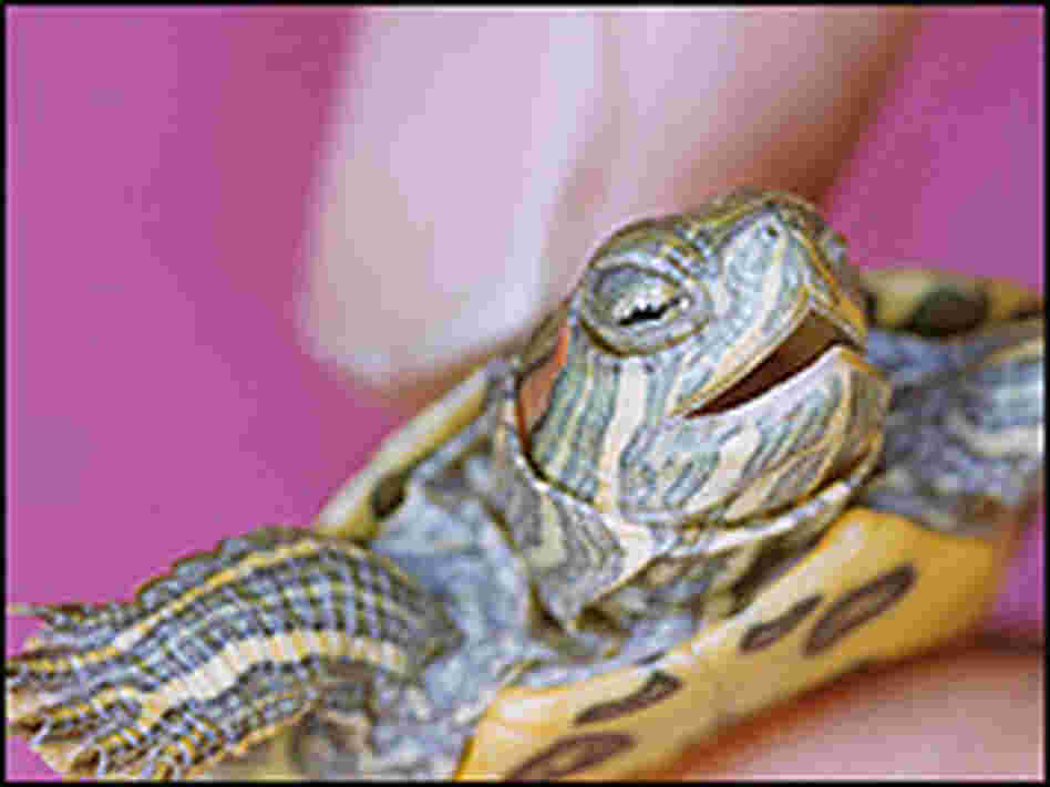 A tiny turtle held in a human hand.