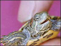 Bill Seeks To Lift Ban On Baby Pet Turtles Npr