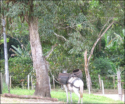 Tavares' cocoa plantation.