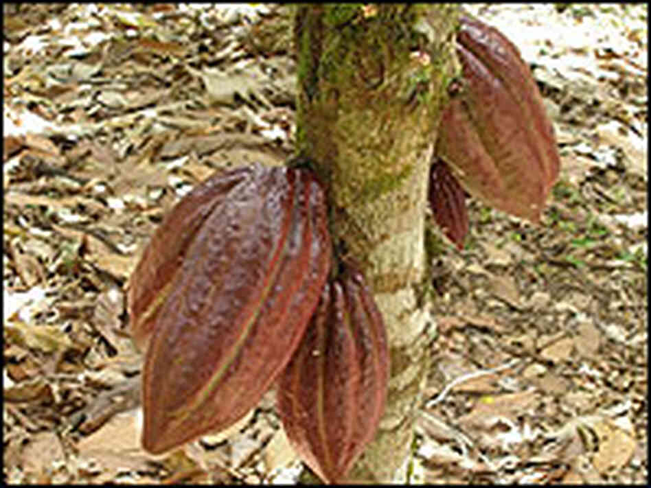 Cocoa pods grow directly off the trunk of a cacao tree.
