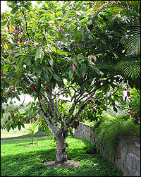 cocoa tree growing in a yard