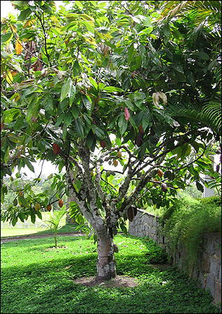 A cacao tree in a yard in eastern Brazil.