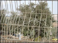 Olive trees are seen through barb wire,