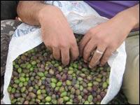 Olive sack