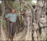 Yousef Sharkawi stands near one of the oldest olive trees in the Mediterranean region.