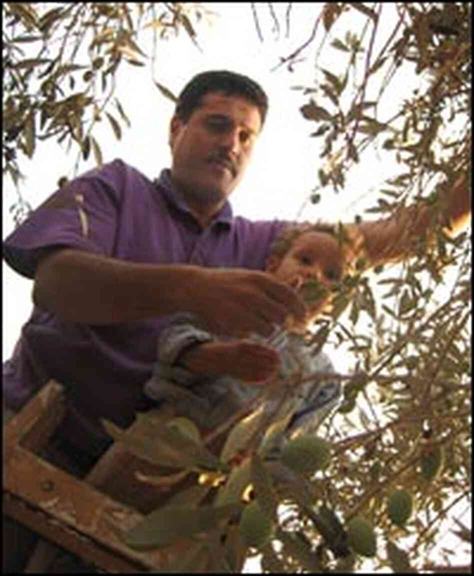 Raslan Yasin harvests olives with his son.