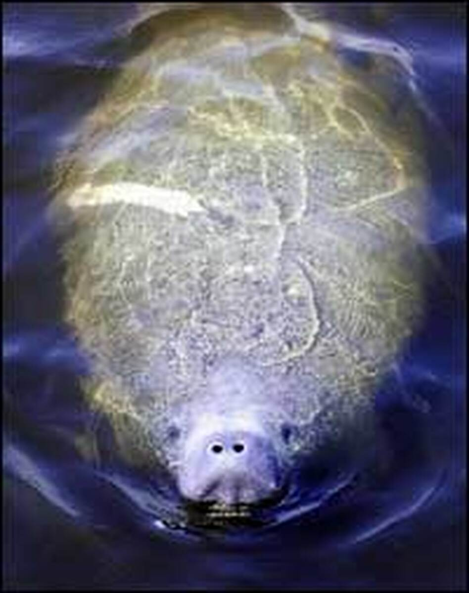 A Manatee surfaces for air in a canal in Miami.
