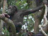 Chimpanzees sitting in a tree.