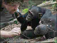 Two chimpanzees watch Brian Hare.