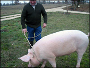 Paul Pinsard hangs on to Kiki, his 300-pound sow, as she sniffs for truffles.