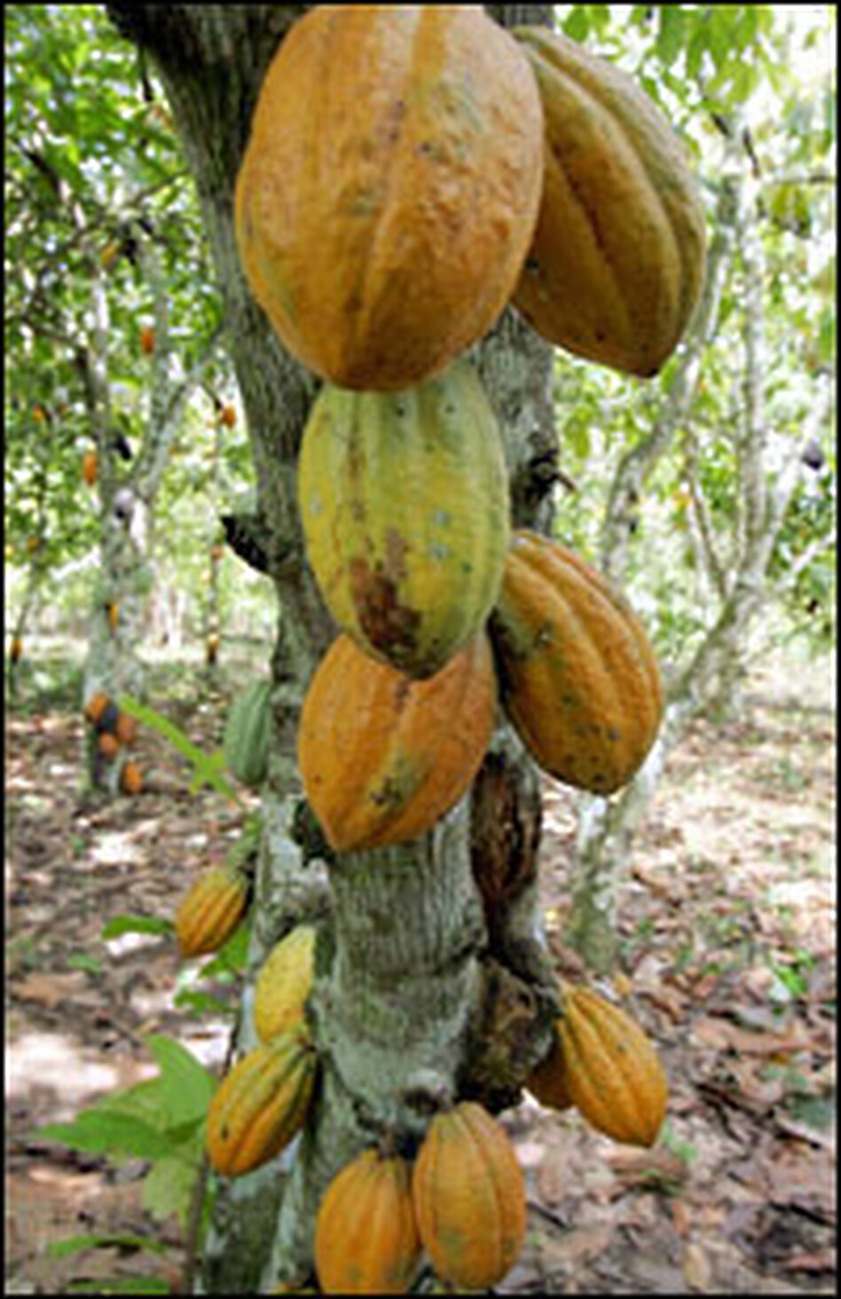 Where chocolate begins: the cacao tree.