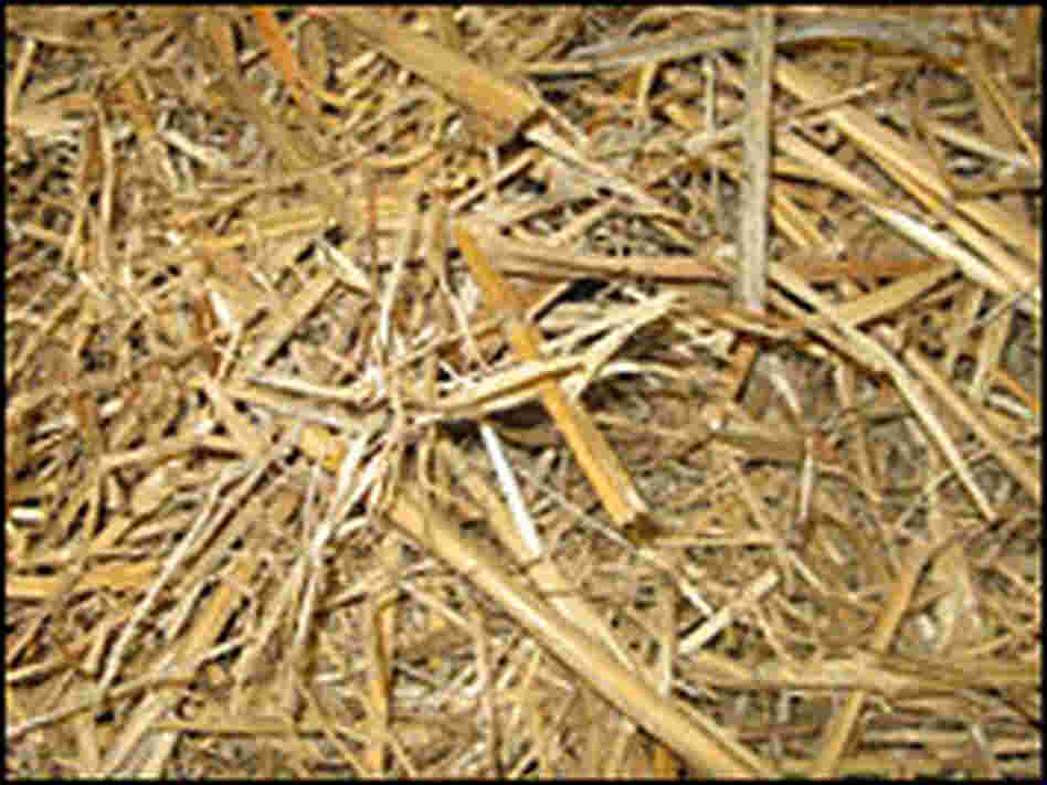 Dried Miscanthus, a plant related to sugar cane, could be the fuel of the future.
