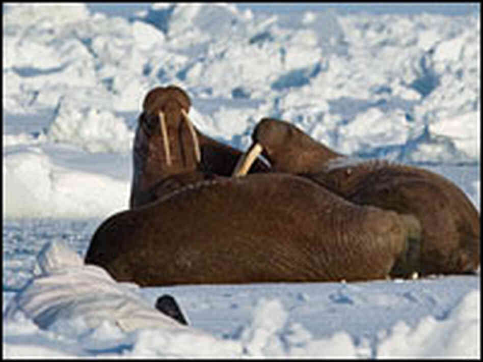 Walrus rest on ice.