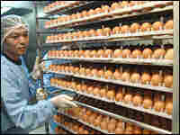 Researchers sort through eggs used for the cultivation of swine flu vaccine.