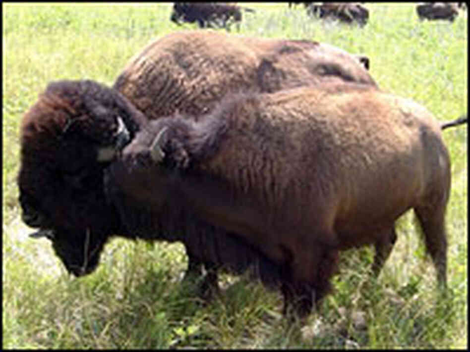 A male bison guards a female.