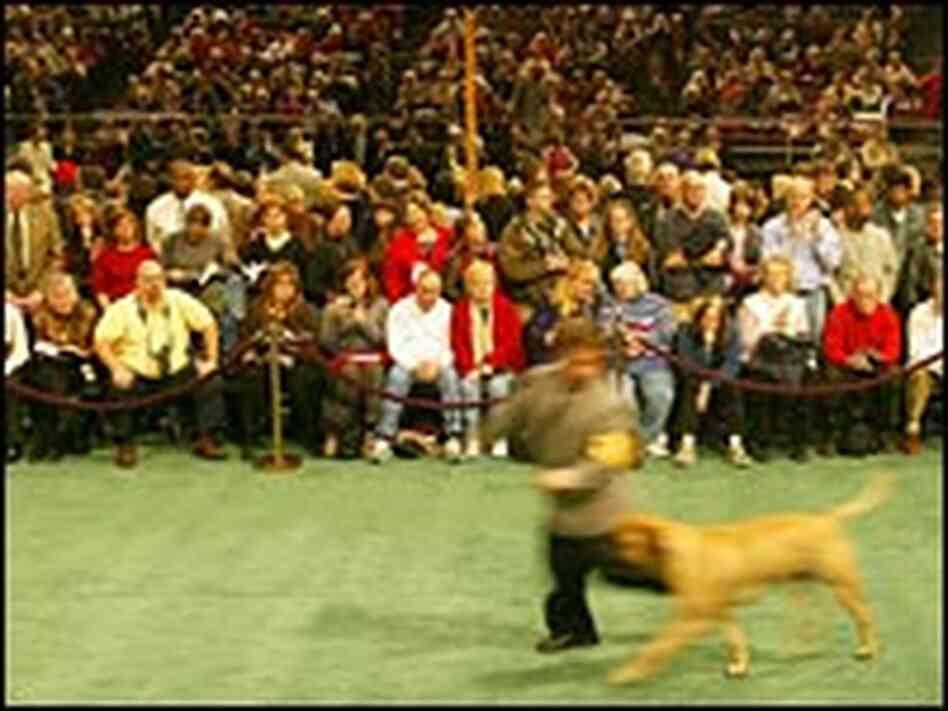 a star handler at the westminster dog show npr