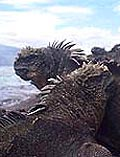 Marine iguanas on the Galapagos Islands
