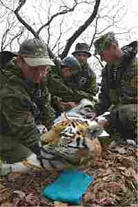 """""""Olga,"""" a 14-year-old Siberian tiger, was killed earlier this year by poachers."""