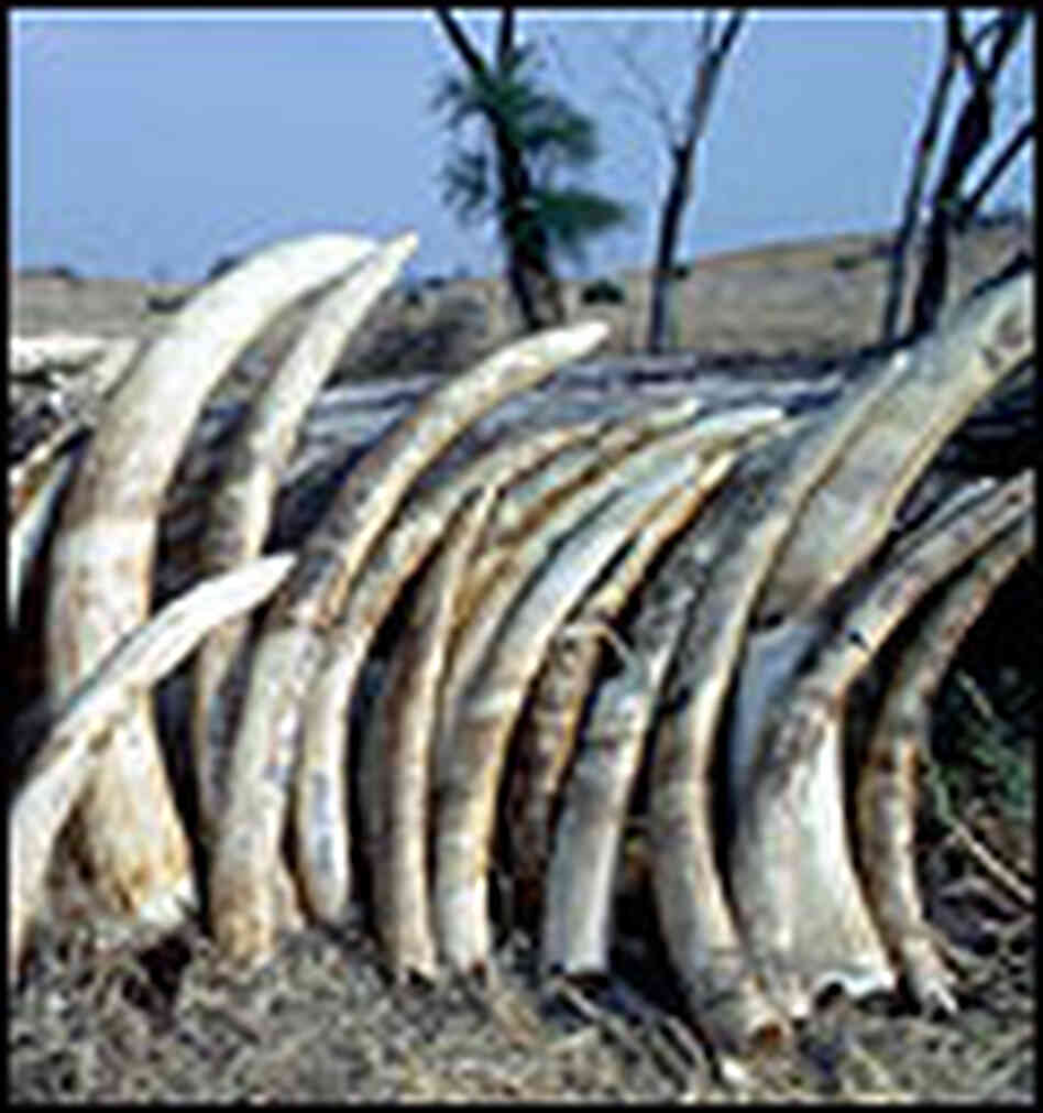 A stack of elephant tusks