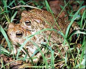 Great Plains toads mating.