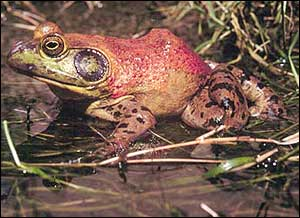 A bullfrog sitting in a marsh.