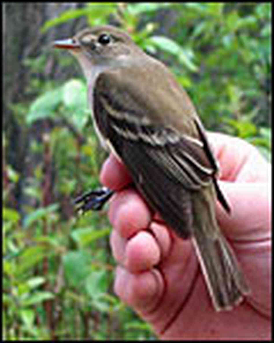 A least flycatcher is small than the hand it is perched on.