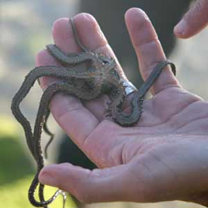 A brittlestar held in someone's hand