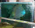 Large humphead wrasse destined for a gourmet restaurant fills a small tank in Guangzhou, China.