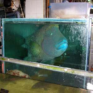 A large humphead wrasse in a comparitively small tank