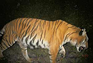 A photo of a wild tiger taken by an automatically triggered camera.