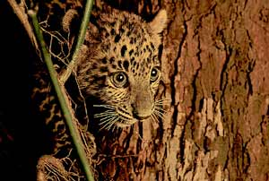An Asiatic leopard cub in the Hukawng Valley of Myanmar