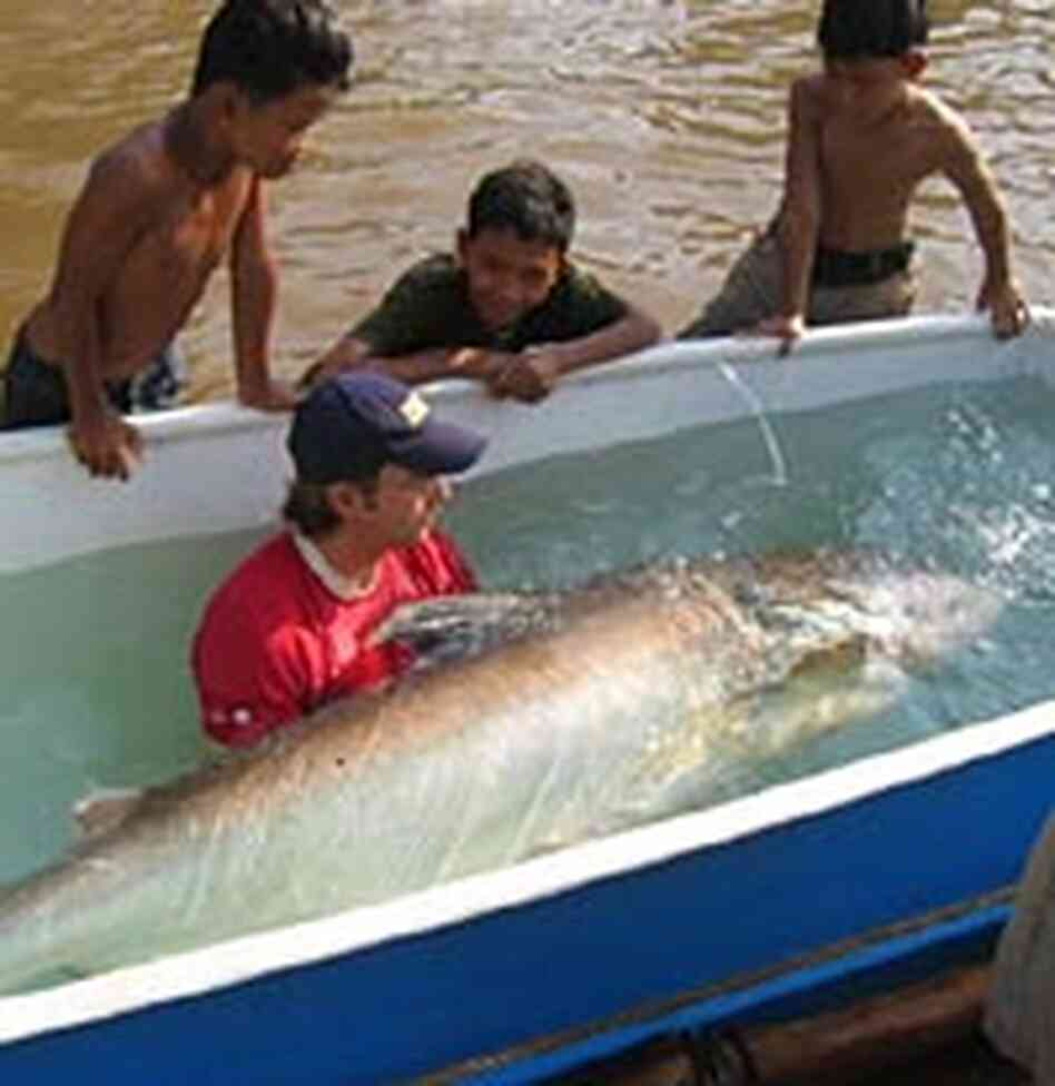 Zeb Hogan cradles a 250-pound Mekong giant catfish being treated with