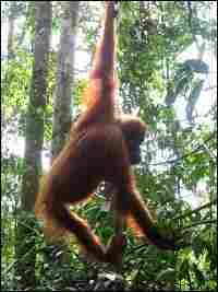 An orangutan swings through the trees at a tourist-oriented facility in Bukit Lawang