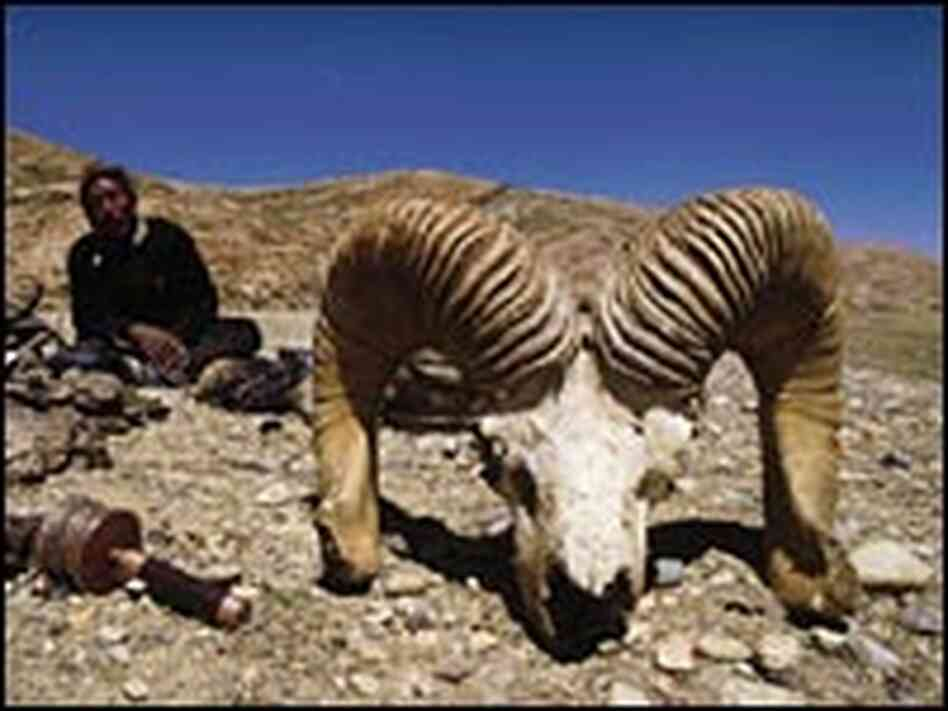 Marco Polo sheep skull in Tibet.
