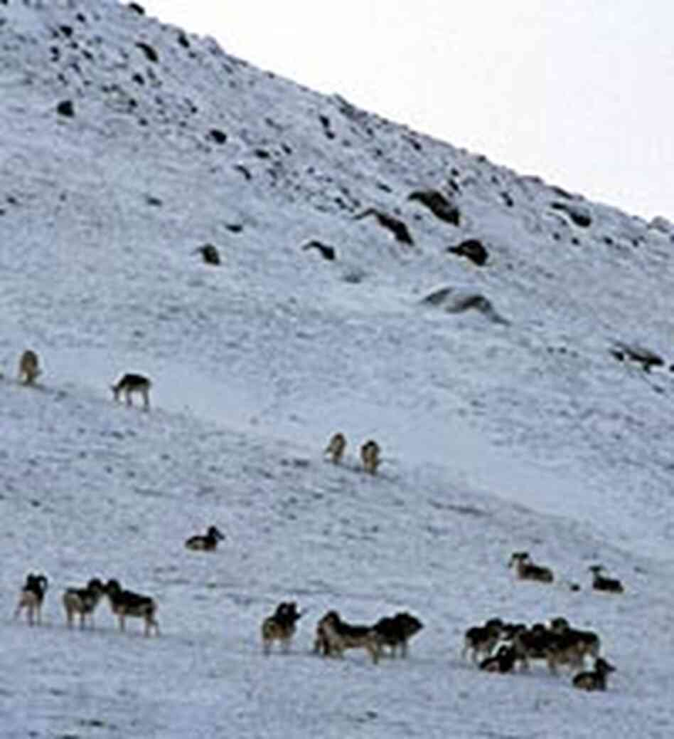 Marco Polo sheep dot a snow-covered mountainside in Afghanistan.