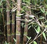 Phyllostachys nigra 'Bory'