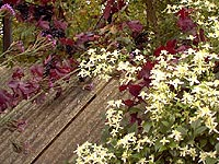 Clematis and Grapes