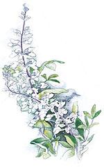 Baptisia Alba