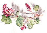 Ribes sanguineum
