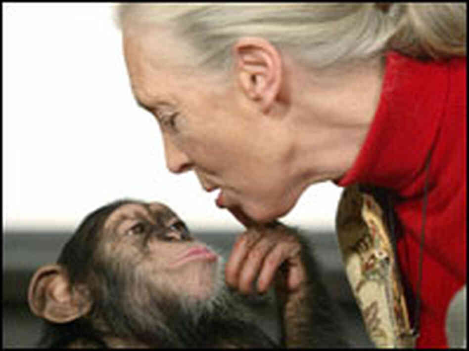 Jane Goodall with a chimp in Budapest.
