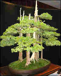 The Goshin Bonsai was begun in 1953 by John Naka.