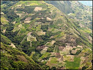 Coca plantations dot the fertile, green mountains in the Yungas region of western Bolivia.