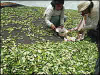 Bolivian women pick up coca leaves they had spread to dry in the Yungas region in October.