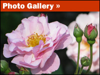 Rosarium photo gallery