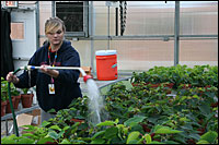 Student Sara Schneider waters poinsettias.