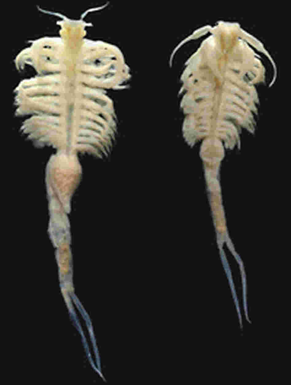 A female and male speciman of the newly discovered species of fairy shrimp