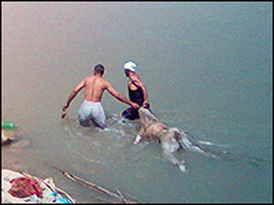 Swimmers drag a bloated body towards the river bank.